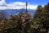 Der Frühlingsrhododendron Langtang Trek