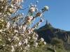Roque Nublo und blühender Mandelbaum